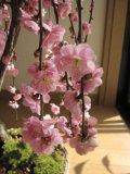 梅まつり名古屋の梅の見所はどこ?